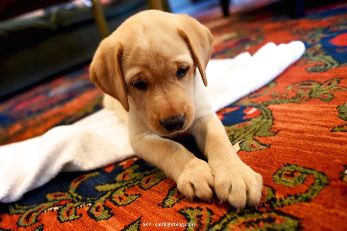 Our new Labrador Retriever Puppy, so small, laying on our red oriental rug